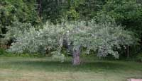 Invigorating Old Apple Trees