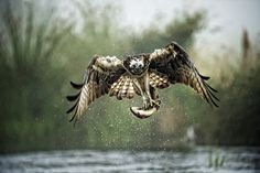 Osprey Fishing by David C Walker 1967 on Flickr.