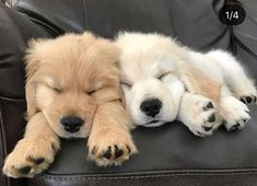 Sweet Golden Retriever puppies