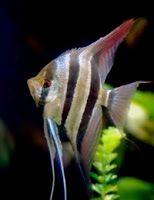skalar ryba