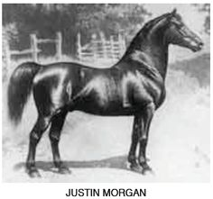 The Morgan breed traces to this one Stallion. His name was Figure, but the World came to know him as Justin Morgan. All The Pretty Horses, Beautiful Horses, Morgan Horse, Majestic Horse, Vintage Horse, Horse World, Horse Racing, Race Horses, Breyer Horses