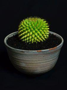 サボテン:尾形丸錦[02872]|尾形丸錦Gymnocalycium pflanzii v. albipulpa f. varieg商品コード:02872w150 x h170mm(鉢を含む)実生鉢:月晴製陶商品一覧