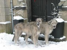 Irish Wolfhounds their Gonna be at my house