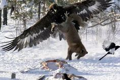 Eagle taking a fox as Magpi escapes from a winter carcass