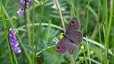 Suomen Perhoset Tummapapurikko » Suomen Perhoset Finland, Butterflies, Insects, Scenery, Nature, Animals, Life, Art, Animales