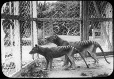"""Disease Not a Factor in Tasmanian Tiger Extinction Jan. 2013 — Humans alone were responsible for the demise of Australia's iconic extinct native predator, the Tasmanian Tiger or thylacine, a new study led by the University of Adelaide has concluded. Beautiful Creatures, Animals Beautiful, Cute Animals, Farm Animals, Tasmanian Tiger, Extinct Animals, Cryptozoology, Mundo Animal, Big Cats"