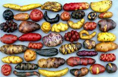 Peruvian potatoes -  In the open air Peruvian markets there are literally hundreds of types of potatoes in all shapes and colors