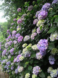 Gorgeous Hydrangeas.