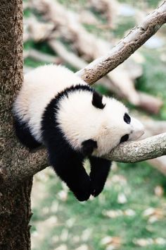 When you're a panda, your main job is being cute. Well, this little panda thinks it's absolutely exhausting having to be this cute all the time! Cute Creatures, Beautiful Creatures, Animals Beautiful, Nature Animals, Animals And Pets, Wild Animals, Cute Baby Animals, Funny Animals, Baby Pandas