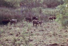 Feral Pig (Sus scrofa domesticus) - **Introduced/Invasive Species**