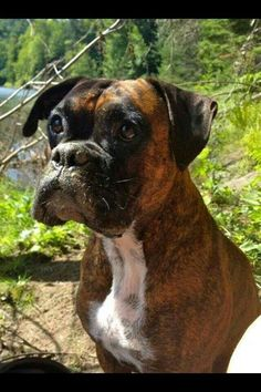Boxer: Love the eyes - To learn more about training this versatile breed of dog (click here) http://dunway.us/kindle/html/boxer.html