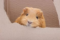 What Can Guinea Pigs Chew On? A List of Safe, Healthy Chewables for your Cute Cavies Pet Guinea Pigs, Guinea Pig Care, Happy Animals, Cute Funny Animals, Guinnea Pig, Homemade Cat Toys, Reptile Cage, Reptile Enclosure, Fluffy Animals