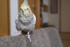 てくてく  #いとさんはインコさん #オカメインコ #インコ #オウム #鳥 #ペット #てくてく #cockatiel #calopsita #bird #parrot #pet #mypet #mylove #birdlove #birdlover #animal #animals #instabird #birdstagram #instacockatiel #cockatiellovers #ファインダー越しの私の世界 #fujifilm_xseries #fujifilm #xe1 by cockatiel_itosan http://www.australiaunwrapped.com/