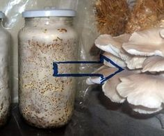 How to Grow Oyster Mushroom Spawn (Low Tech)