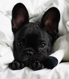 french bulldogs I want one