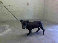 A431154 ***URGENT*** San Bernardino City Animal Control is an adoptable Black Labrador Retriever Dog in San Bernardino, CA. Will you save me? I would love to become part of your family!  THIS DOG IS A...