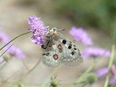 Apollo, Butterfly, Apollofalter