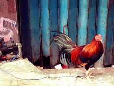 Cock Fighting Rooster Binondo Chinatown Manila Philippines Asia Market Street Food Travel Culture