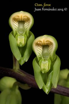 Orchid-Mimicry: Flower-detail of Catasetum ferox - Flickr - Photo Sharing! Strange Flowers, Unusual Flowers, Wonderful Flowers, Unusual Plants, All Flowers, Orchid Flowers, Monkey Orchid, Orchid Varieties, Rare Orchids