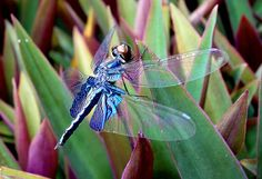 Blue Purple Dragonfly | Flickr - Photo Sharing!