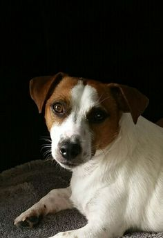 The pure beauty of a wonderful JRT