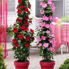 Shop Sundaville Red Plants at J Parker's. Known as Mandevilla 'Bloom Bells' or Dipladenia they will flower through summer. Buy top quality plants online now. Conservatory Plants, Patio Plants, Outdoor Plants, Red Plants, Exotic Plants, Plant Design, Garden Design, Gemüseanbau In Kübeln, Pink Plant
