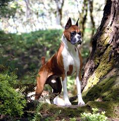 I don't agree boxers should have their ears cropped but what a beauty he is!
