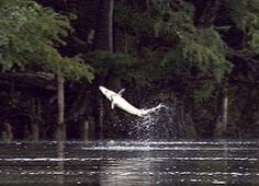 Endangered Sturgeon Returning to Suwannee River, there and hear about them and hooked a few along the Columbia .