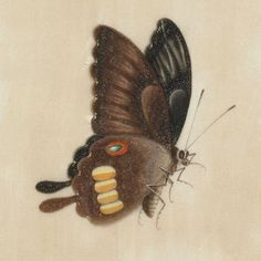 Butterfly Album d (detail), gouache. Insect sketches produced in China, 19th century | The Royal Digital Library of Belgium