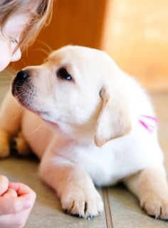 Yellow Lab puppy--The eyes say it all!