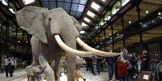 L'éléphant de Louis XIV attaqué à la tronçonneuse au Museum d'Histoire Naturelle à Paris. Où allons nous?