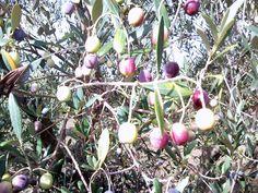 "Olive grove ""Masseria Don Vincenzo"""