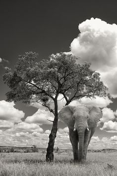 Elephant Under A Tree by Mario Moreno,