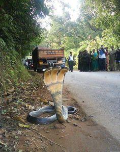Three headed cobra