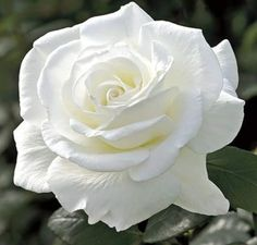 That's so beautiful, I've never seen one such a bright white