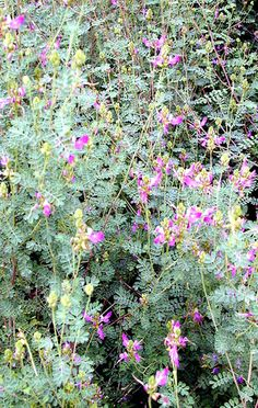 SmartScape Plant Details - Dalea, Black: Excellent fall blooming, rock garden plant. Grows in poor, dry soils.