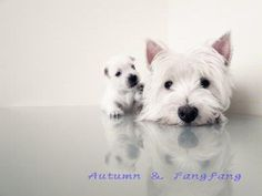 West highland terrier.