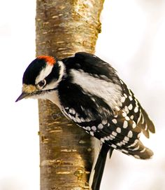 Just like fruit, jelly is a sweet treat for many birds. Both apple & grape jelly attract woodpeck-ers/American robins/ gray catbirds/orioles Pretty Birds, Beautiful Birds, Pigeon, American Robin, Grape Jelly, Goldfinch, Backyard Birds, Colorful Birds, Bird Species