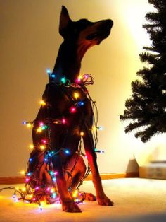 doberman with christmas lights! I'm so ready for a Doberman! Big Dogs, I Love Dogs, Cute Dogs, Dogs And Puppies, Doggies, Corgi Puppies, Baby Chihuahua, Christmas Animals, Christmas Dog