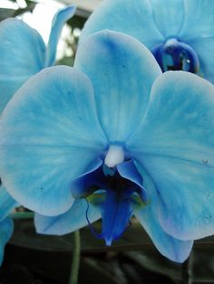 blue orchid...so pretty!