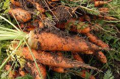 Como sembrar zanahorias en el huerto