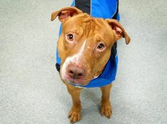 TO BE DESTROYED 3/2/14 This gentle and well behaved boy was brought in as a stray even tho his finder said he enjoyed petting, was V friendly and  loved to play. Another perfectly great dog slated to die tomorrow. Please adopt or foster now! Manhattan Center -P. My name is TYSAN. My Animal ID # is A0992186.I'm a male tan/white pit bull mix about 4 YRS.