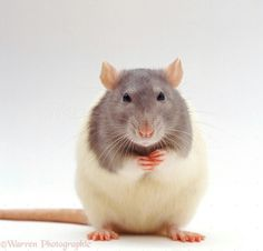 Cute Small Animals, Animals Beautiful, Animals And Pets, Rat Man, Rodents, Hamsters, Animal Articles, Rat Toys, Apocalypse