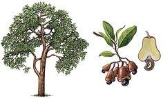 Anacardier - cajou Illustration Botanique, Illustrations, Fall, Autumn, Montessori, Image, Paintings, Education, Patterns