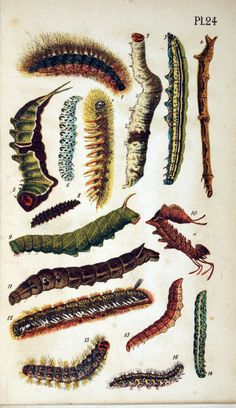 Caterpillars.  (via Papillons (1884))