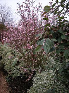 viburnum bodnantense 39 pink dawn 39 for the garden. Black Bedroom Furniture Sets. Home Design Ideas