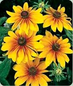 Denver Daisy - 4000 Gloriosa Daisy Indian Summer Rudbeckia Hirta Flower Seeds Gift Combs H | eBay