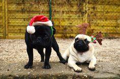 Piškot a Porsch přejí všem krásné vánoční svátky.  Piškot and Porsch...two pugs from Czech Republic...wish a great Christmas to everyone.:)