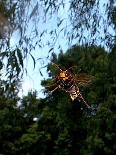 ニキータ速報: 【虫注意】蛾だけどスズメバチ採りに行ってみた