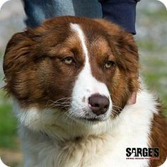 Waynesville, NC - St. Bernard/Border Collie Mix. Meet Paisley, a dog for adoption. http://www.adoptapet.com/pet/12667506-waynesville-north-carolina-st-bernard-mix